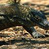 Komodo Dragon, Komodo Island Indonesia