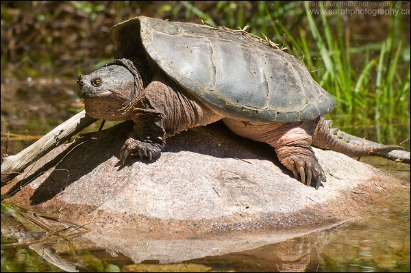 Snapping Turtle Chelydra serpentina