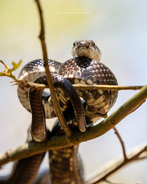 Rat Snake - No. 3