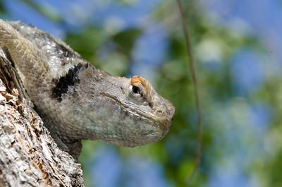 Spiny Lizard - Fernley, Nevada
