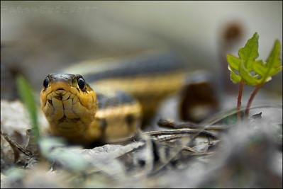 Common Garter Snake   Thamnophis sirtalis