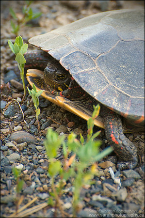 Painted turtle   Chrysemys picta