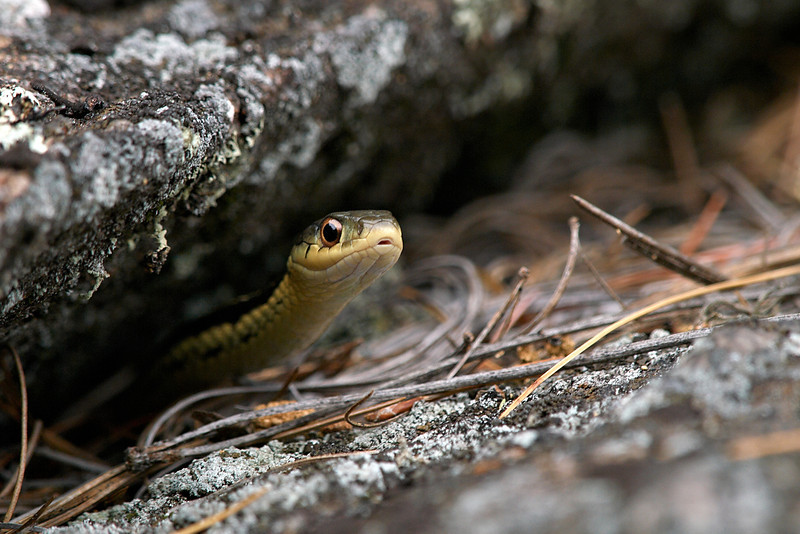 Snake in a Rock - West Arm of Nipissing
