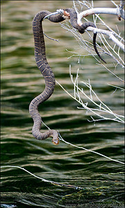 Northern water snake Nerodia sipedon