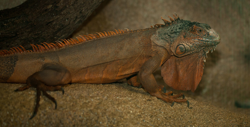 This handsome iguana is Roosevelt, and he lives at Out of Africa.