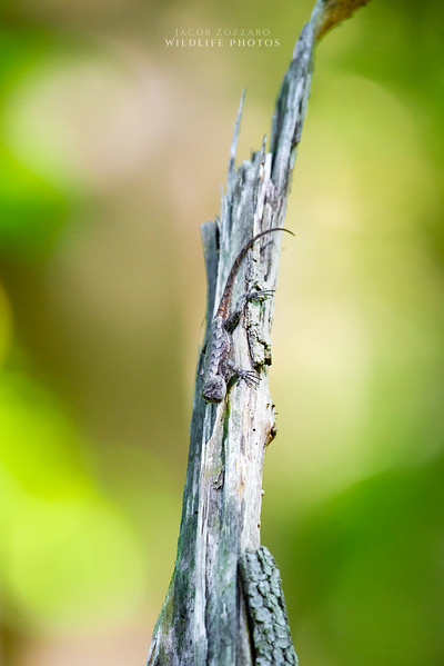 Female Fence Lizard - Angle 2