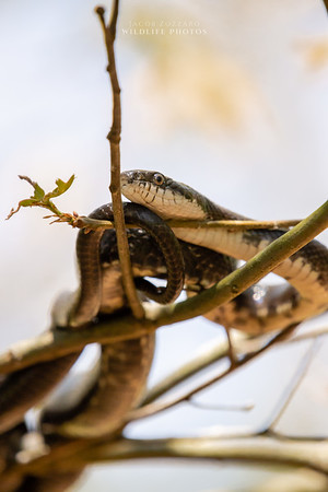 Rat Snake - No. 5