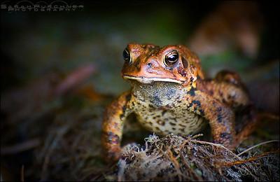 American toad  Bufo americanu