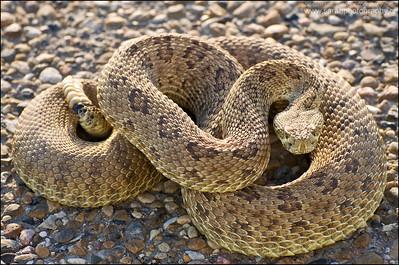 Prairie Rattlesnake  Crotalus viridis