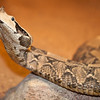 The gaboon viper rising up to look at me.  This would have been a great time to use a telephoto lens instead of a macro.