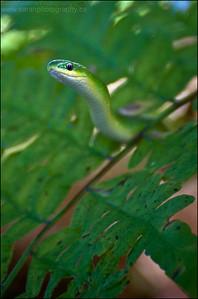 Green Snake  Opheodrys aestivus