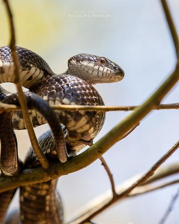 Rat Snake - No. 4