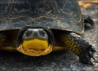 Blandings Turtle. Emydoidea blandingii
