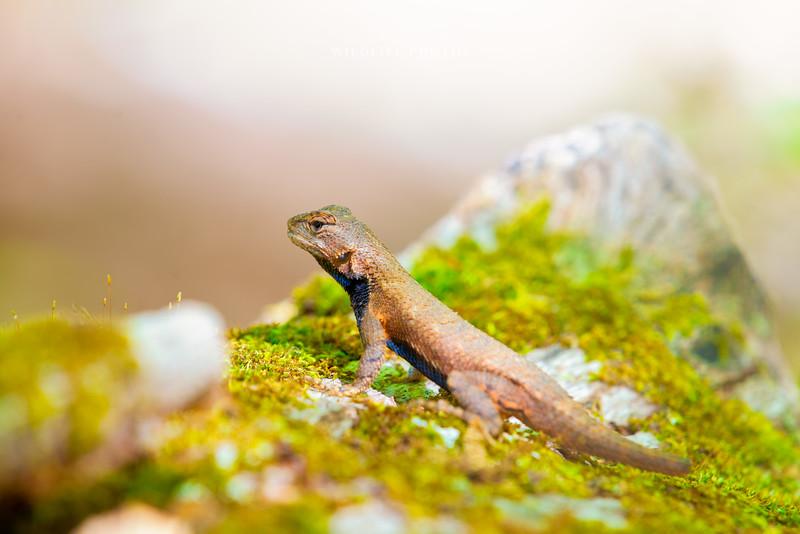Male Fence Lizard - Angle 4
