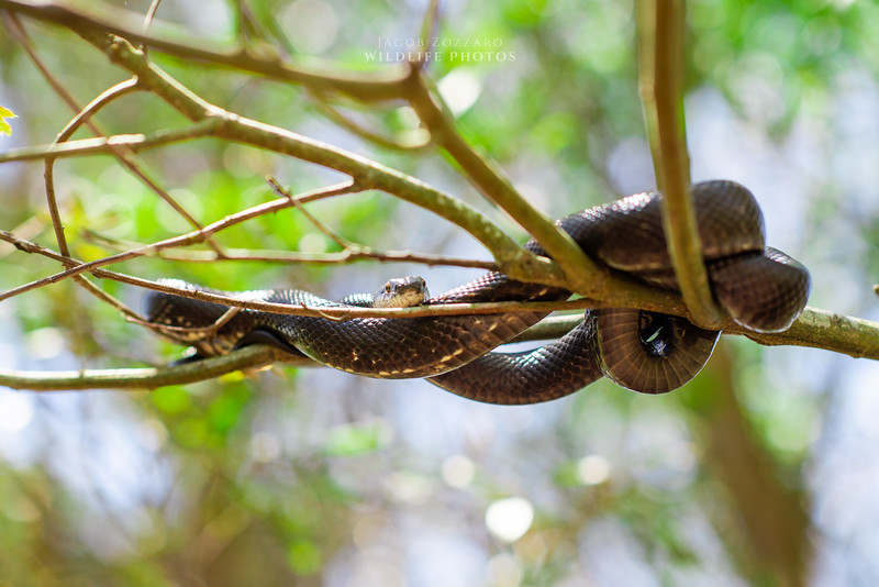 Rat Snake - No. 1