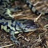 tigersalamander_may27-08 031