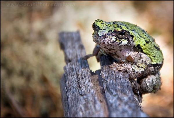 Gray Tree Frog  <i>Hyla versicolor</i>