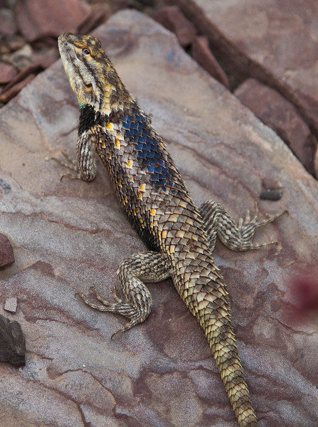 This is a male, desert spiny lizard.  They are much larger than the usual lizard, and this guy was clearly enjoying all the attention.  Several photographers were busily clicking away, and this guy just walked back and forth, stopping regularly to pose.  He was feeling good and strutting his stuff.