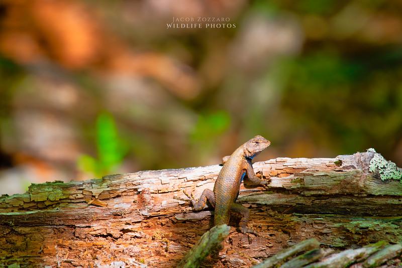 Male Fence Lizard - Angle 3