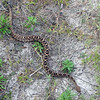 Eastern Diamond Back Rattle Snake
