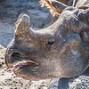 Great Indian Rhinoceros