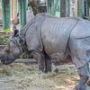 Great Indian Rhinoceros