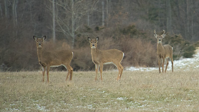 A heard of 25-30 deer in this field, which included four young bucks