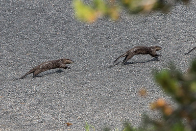 River Otter Pups after Mom's Tail