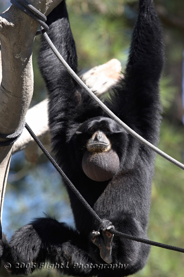 Siamangs inflate their throats and make loud whooping noises