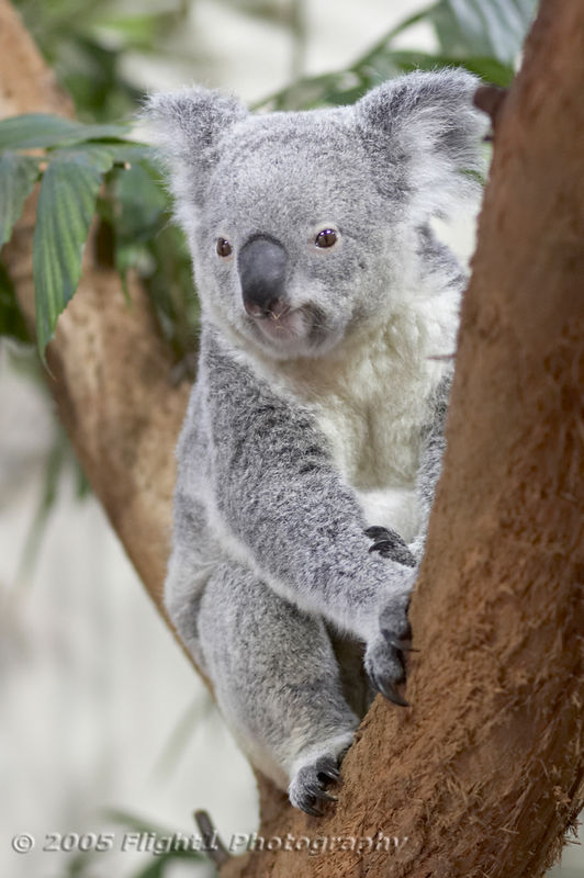 Koalas are native to Australia