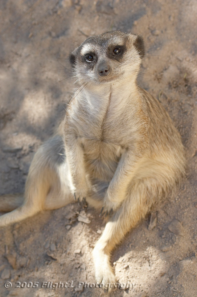 A Meerkat with a puzzzled look