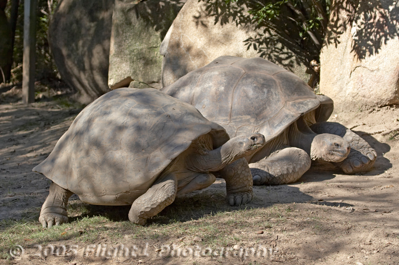 Two Galapagos Tortoise