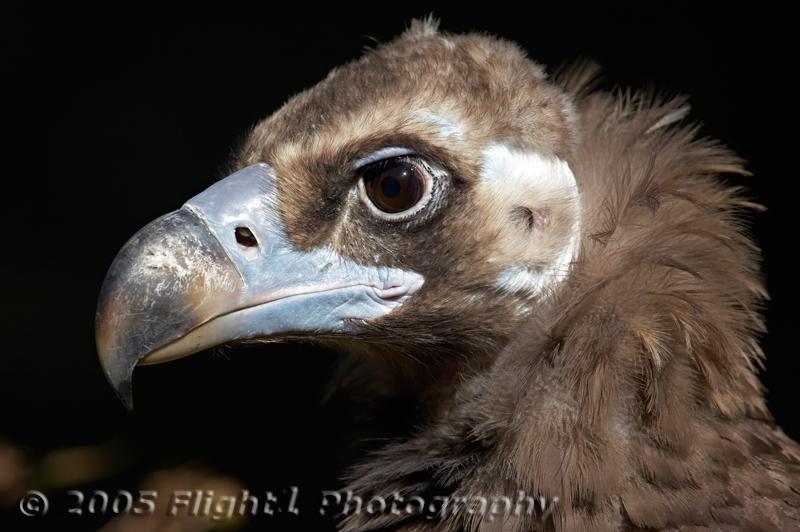 An African Vulture