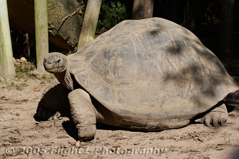 Another look at a Galapagos Tortoise