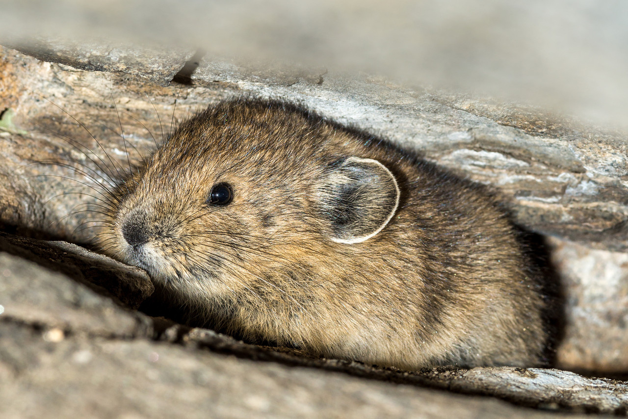 American pika (Ochotona princeps). Rocky Mountain National Park, USA.