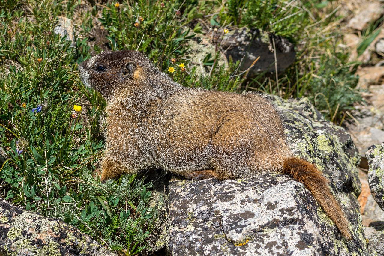 Yellow-bellied marmot (Marmota flaviventris). Toll Memorial Trail, Trail Ridge Road, Rocky Mountain National Park, USA.