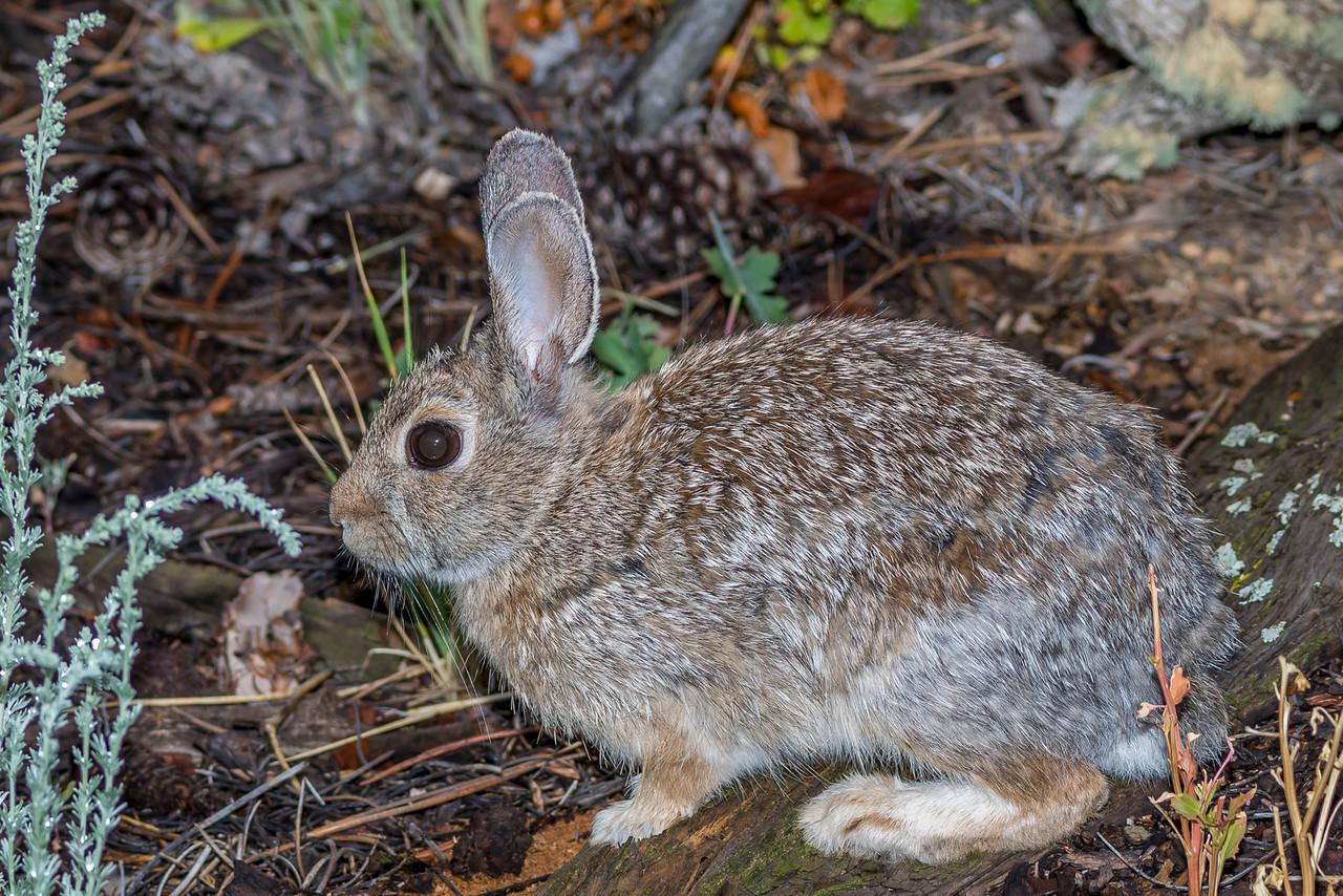 Snowshoe hare (Lepus americanus). Estes Park, Colorado, USA.