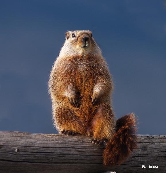 MF 07AP5853  Juvenile female Yellow-bellied Marmot (Marmota flaviventris).