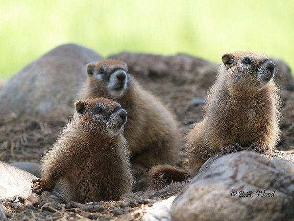 MF 239  Baby rockchucks (Marmota flaviventris).