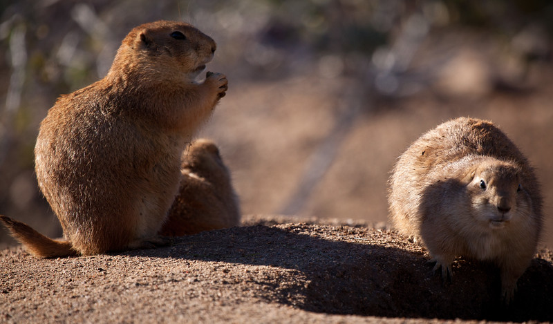 The prairie dogs were just waking up for the morning, and enjoying some snacks.  They look like they enjoy food as much as I do.  These were at Out of Africa, in Camp Verde, AZ.