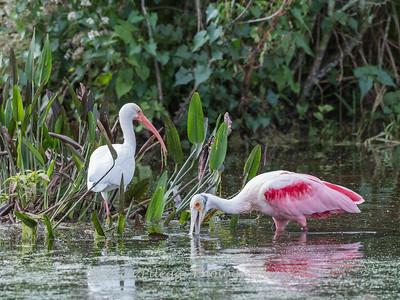 Roseate Spoonbills Florida Jan 2018-8013