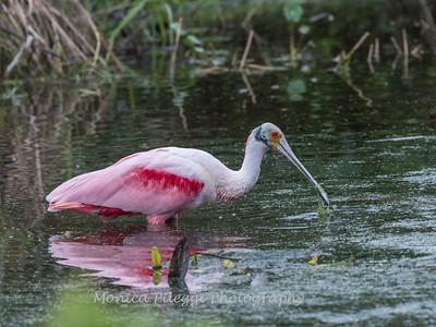Roseate Spoonbills Florida Jan 2018-8027