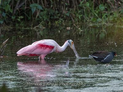 Roseate Spoonbills Florida Jan 2018-8017
