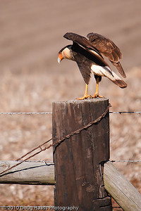 Crested Caracara on fence pole in Rosharon, TX off FM 521