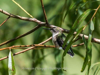 Hummingbird  23 Aug 2018-5021