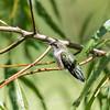 Hummingbird  23 Aug 2018-5028