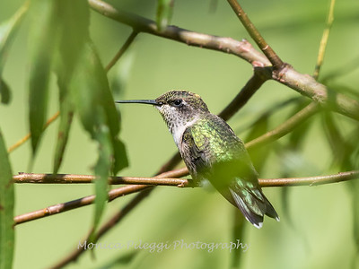 Hummingbird  23 Aug 2018-5050