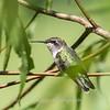 Hummingbird  23 Aug 2018-5050