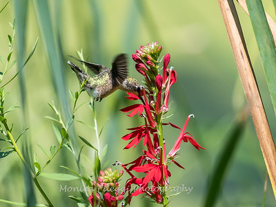 Hummingbird  23 Aug 2018-5100