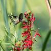 Hummingbird  23 Aug 2018-5100